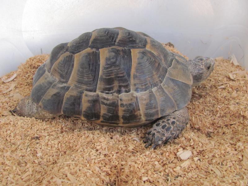ibera greek tortoise - photo #44